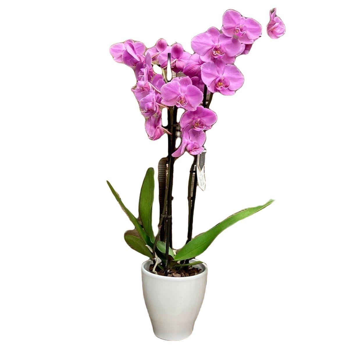 Orquídea dos varas